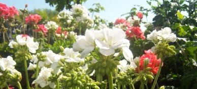 geranium website