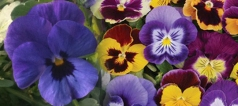 Autumn Winter Pansies