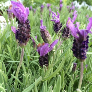 Lavender Hidcote at the Plant Centre, The Farm Shop Lyne