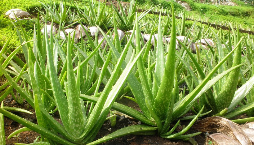 Aloe vera what to use it for farm shop in surrey fresh fruits vegetables meat flowers - Aloe vera plante utilisation ...