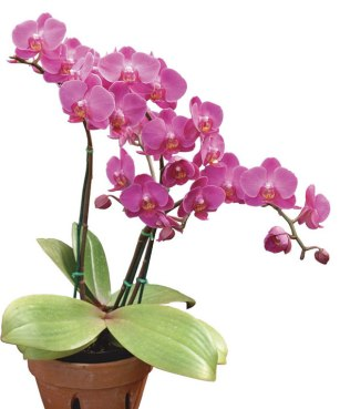 Two Orchids for £10 | The Plant Centre at The Farm Shop Lyne