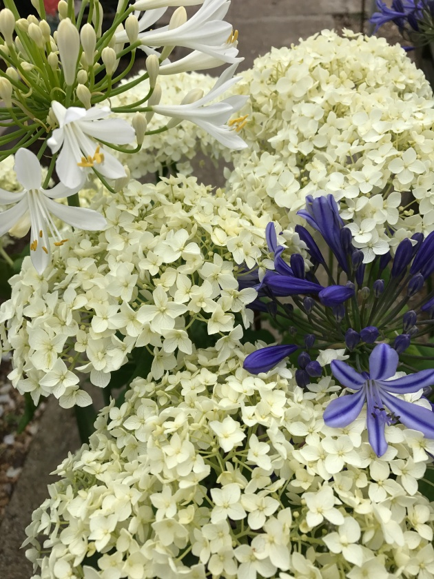 Plant Centre - Agapanthus and Hydrangea