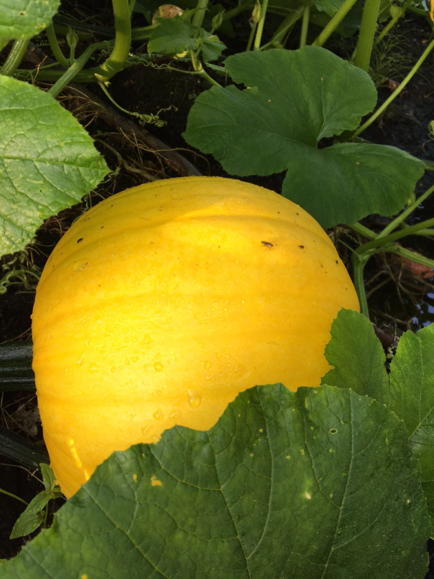 Pumpkin growing