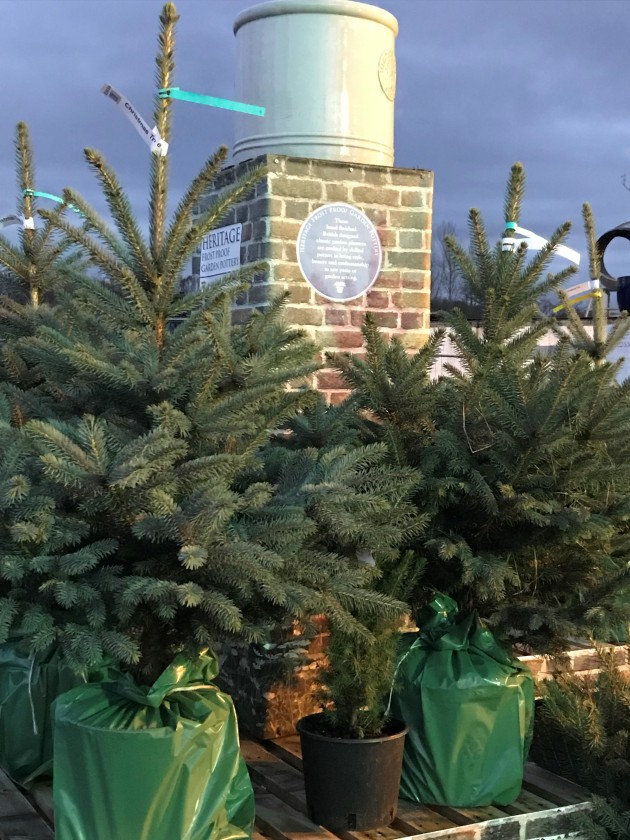 Christmas Trees Potted 1
